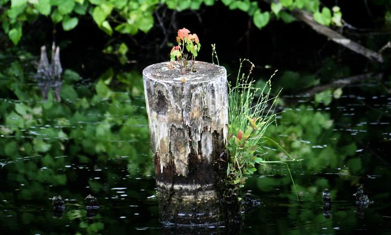 dismal_swamp2.jpg