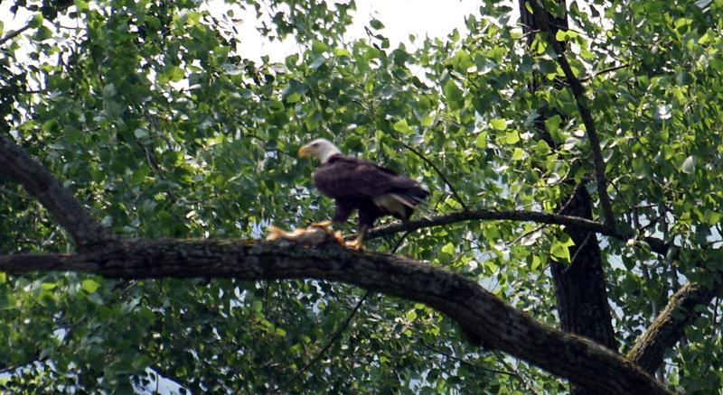 eagle2.jpg