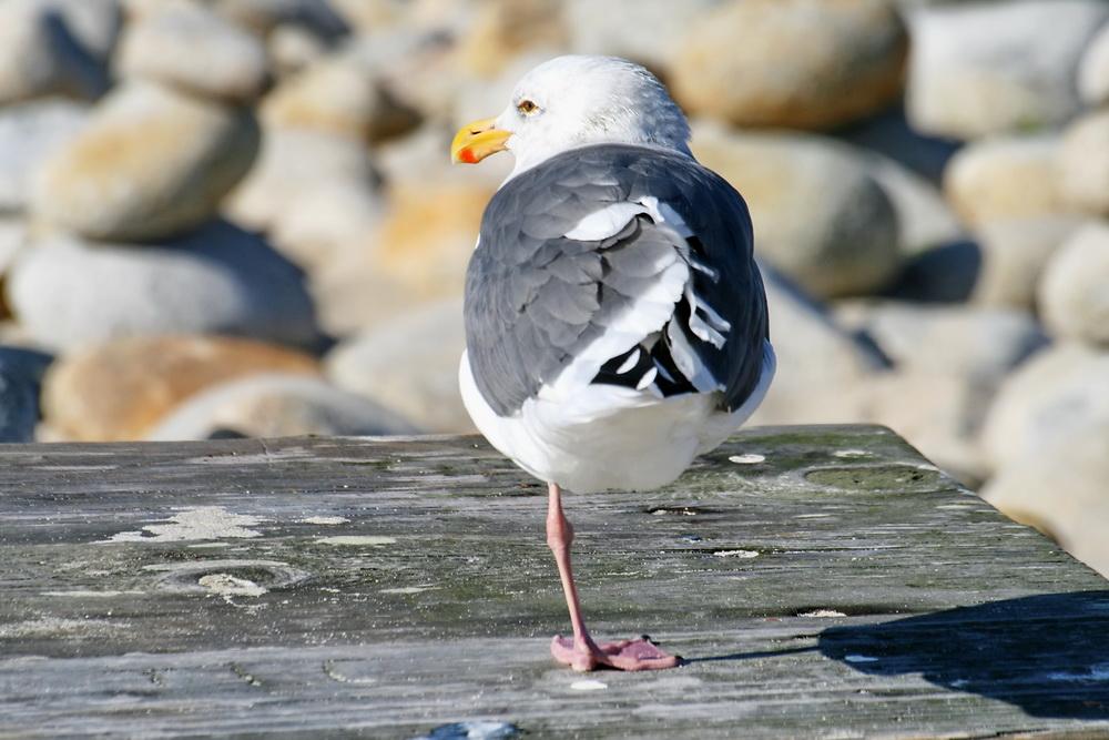 sea_gull.jpg