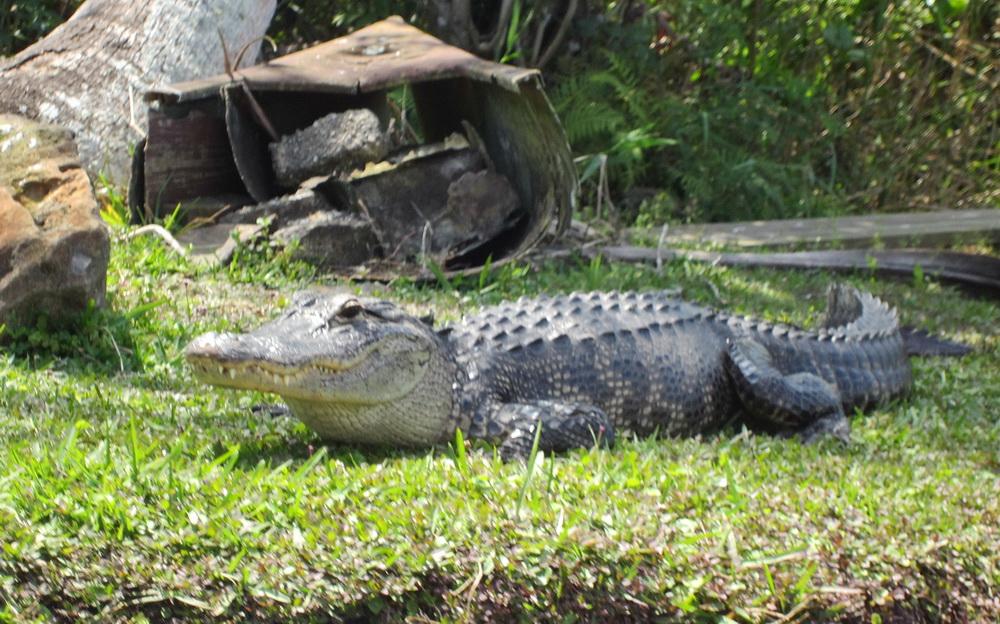 Aligator ute i träsket