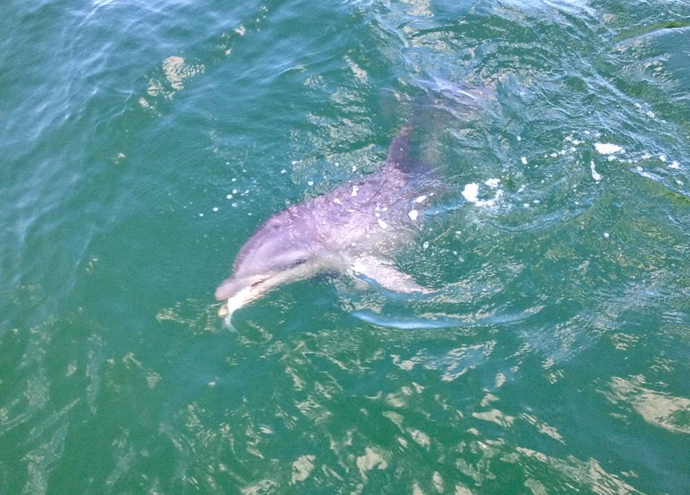 Delfin som fångat fisk!